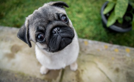 Pet Photography Burnley - Pug Life