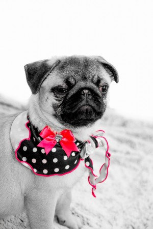 Pet Photography Burnley - Selective Colour Pug
