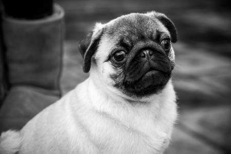 Pet Photography Burnley - black and white pug
